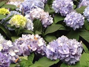 nyc hydrangea garden