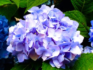 nyc single hydrangea-1